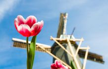 Tulpenblüte (Holland)